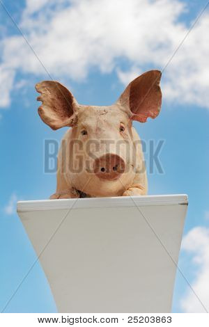 The sniffed of a pig prepares for dive.