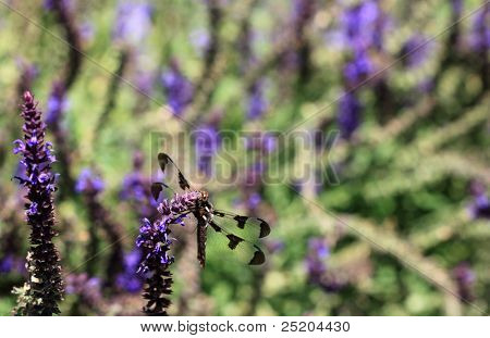 Black Dragonfly with Purple Flowers