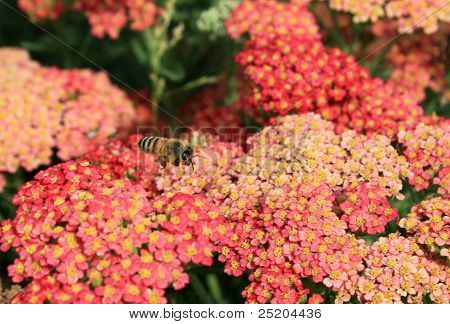 Flying Bee Above Red Flowers