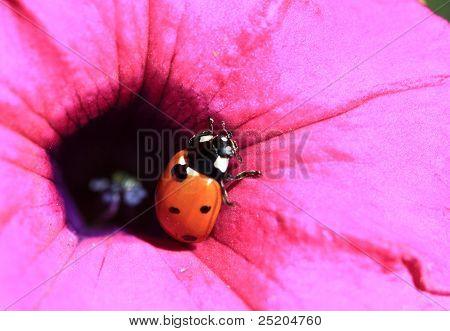 Ladybug on Pink Petunia