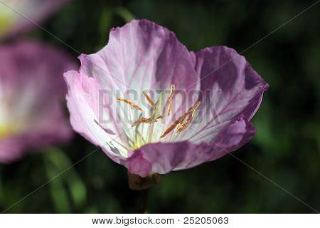 Pink Primrose Sideview