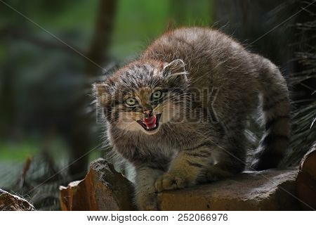 Close up portrait of one cute Manul kitten (The Pallas's cat or Otocolobus manul) looking at camera alerted, hissing and roaring with mouth open, low angle view poster