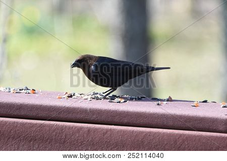 Male Cowbird Perched On A Back Deck Porch Railing Eating Birdseed