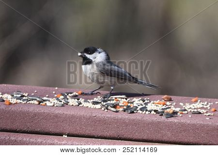 Nuthatch Bird Perched On A Back Deck Porch Eating Birdseed