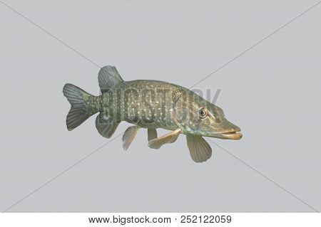 Fish predatory pike isolated on a gray background. poster