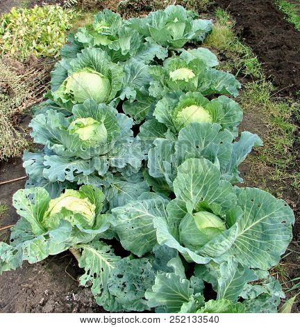 Cabbage In The Garden, Omsk Region, Siberia, Russia