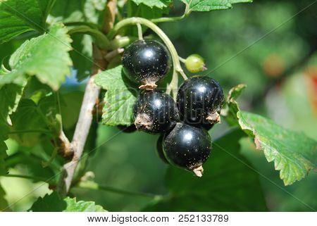 Bunch Of The Blackcurrant, Omsk Region, Siberia, Russia