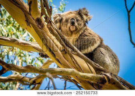 Koala Portrait, Koala Looking At The Photographer In A Forest In Australia