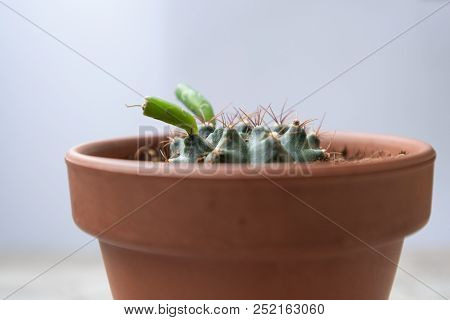 Cactus With Sprout In Ceramic Pot With Gray Background