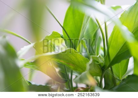 Spathiphyllum Leaves Closeup Green Background With Backlight