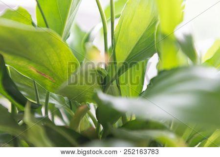 Spathiphyllum Leaves Closeup Green Background Garden White