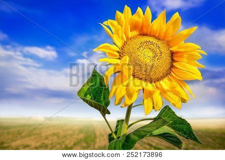 Beautiful Sunflower Against A Sunny Blue Sky