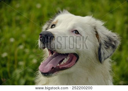 Young Australian Shepherd Dog. Aussie. Merry Fuss Puppies. Training Of Dogs.  Dog Education, Cynolog