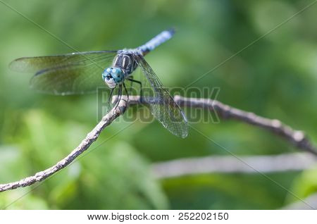 Blue Dasher Dragonfly Landing On Twig Above Pond