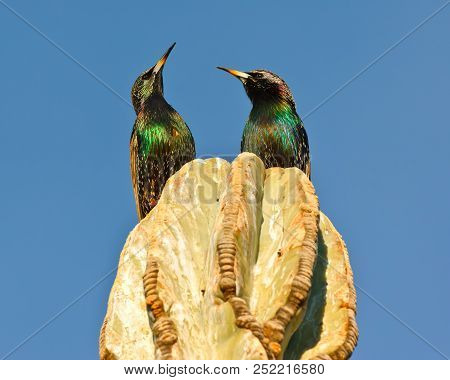 A Pair Of Starlings On Top Of A Cactus In Arizona Looking Skyward In Response To An Aircraft Flying