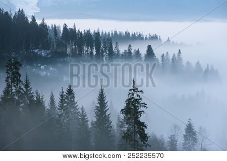 Morning mist in the mountains. Spring landscape with spruce forest