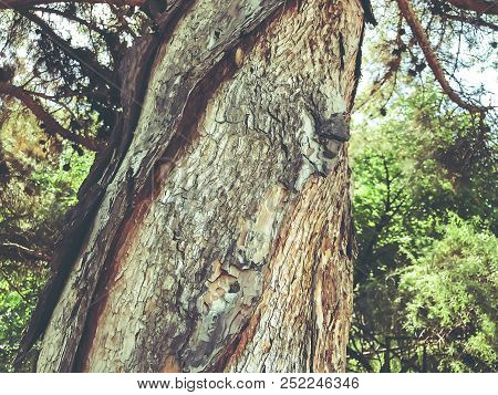 Beautiful Old Conifer Against The Green Trees. Close Up Shot.