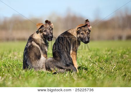 Two German Shepherd Puppys