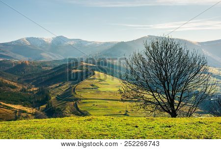 Naked Tree On The Grassy Hill. Mountain Ridge With Snowy Tops In The Distance. Fine Autumn Weather