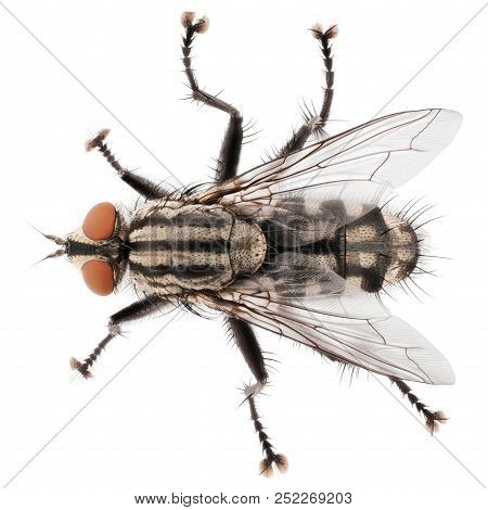 A Macro Shot Of Fly Isolated On White Background. Top View Of House Fly Insect