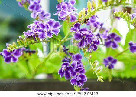 Golden Dew Drop, Pigeon Berry, Sky Flower ( Duranta Erecta ), The Flowers Are Light-blue Or Lavender