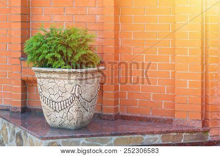 Green Thuja Brabant, Thuya Occidentalis In Clay Pot On Brick Wall Background. Beautiful Green Conife