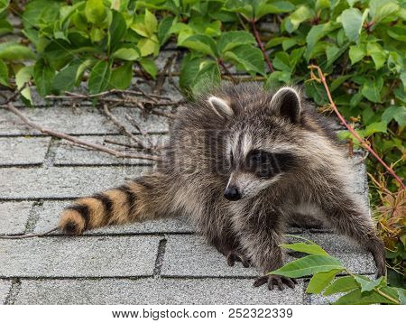 A Baby Raccoon Sitting On Top Of A Light Gray Shingled Roof With Vines In The Background.