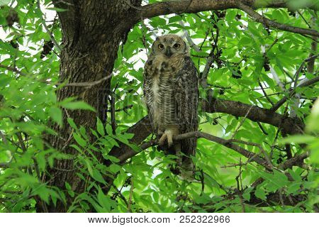 A Great Horned Owl Perched On A Tree.