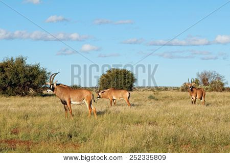 Rare roan antelopes (Hippotragus equinus) in natural habitat, South Africa