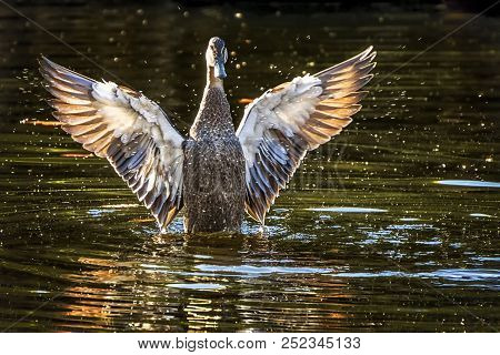 A  Pacific Black Duck (anas Superciliosa) With Wings Spread Bathing In The Lake
