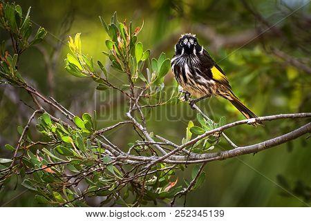 Pretty New Holland Honeyeater Phylidonyris Novaehollandiae - Australian Bird  Sitting In A Tree ,