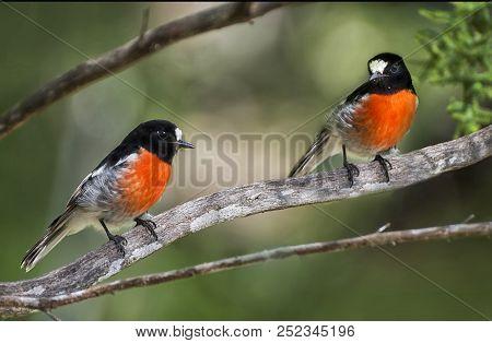 Two Scarlet Robins Sitting On A Branch , Perth Western Australian