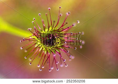 Sundew ~ The Sparkling Globules On A Sundew (droseraceae Sp.)