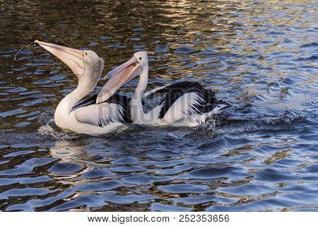 A Pair Of Australian Pelicans (pelecanus Conspicillatus) Perth Western Australia
