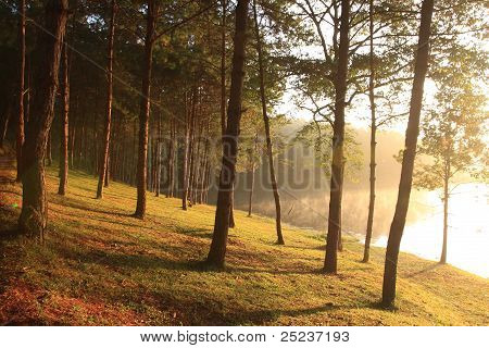 Sunbeams In Natural Spruce Woodland.