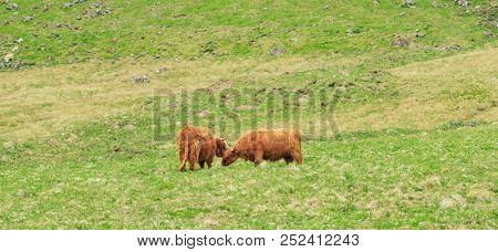 Highland cattle, highland cow in Isle of Skye, Scotland