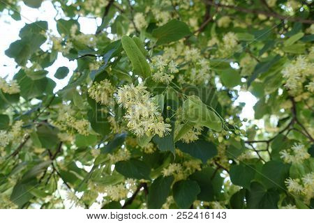 Florescence Of Lime Tree In Early Summer