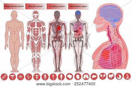 Human Body Anatomy, Medical Education. Nervous And Skeletal Systems Anatomy And Physiology Flat Educ