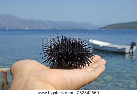 Sea Urchin In A Hand By The Sea