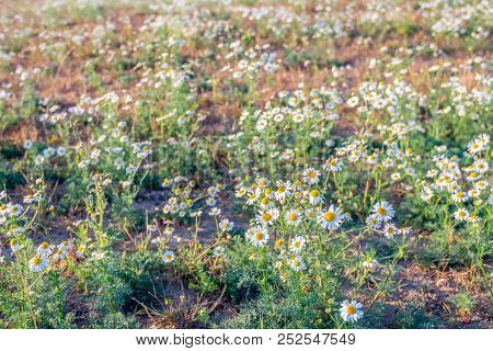 Closeup Of A Blossoming German Chamomile Or Matricaria Chamomilla Plant Growing In The Wild Nature.