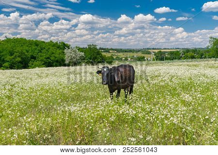 Landscape With Cute Cow Chained On Summer Erigeron Annuus Flower Field