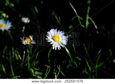 A Pretty Daisy In The Middle Of Meadow Or Garden. Background Is Blurr And In Black Tones To Enhance