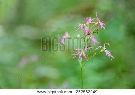 Pink Lychnis flos cuculi wild flower in meadow poster
