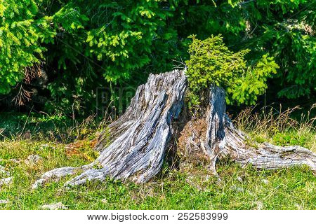 Tree Stump On A Meadow With Green Conifer Trees In The Background. There Is A New Green Conifer Bran