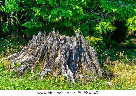 Tree Stump On A Meadow With Green Grass In Front Of Green Conifer Trees With Lush Foliage. This Imag