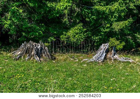 Two Tree Stumps On A Meadow With Green Grass In Front Of The Conifer Forest With Lush Green Foliage.
