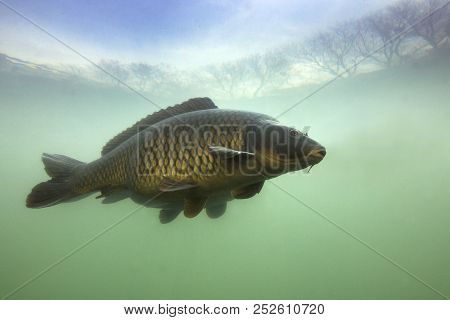 Underwater Shot Of The Fish (carp Of The Family Of Cyprinidae) In A Pond. Common Carp (cyprinus Carp