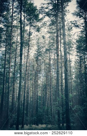 Foggy, moody forest with tall trees. Dreamy image. Dark, creepy atmosphere.