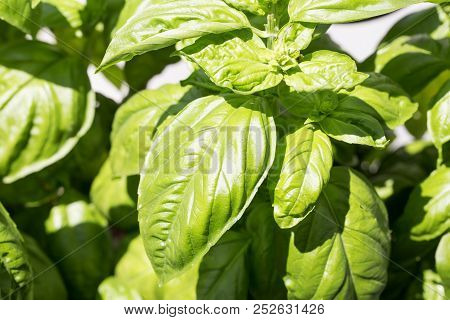 Basil Plant In Close Up