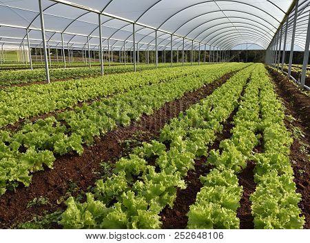 Lettuce Plantation Greenhouse Agricultural Vegetable Food Agriculture